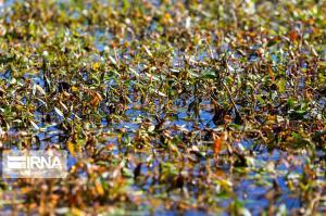 رشد بی رویه جلبک ها در تالاب چغاخور