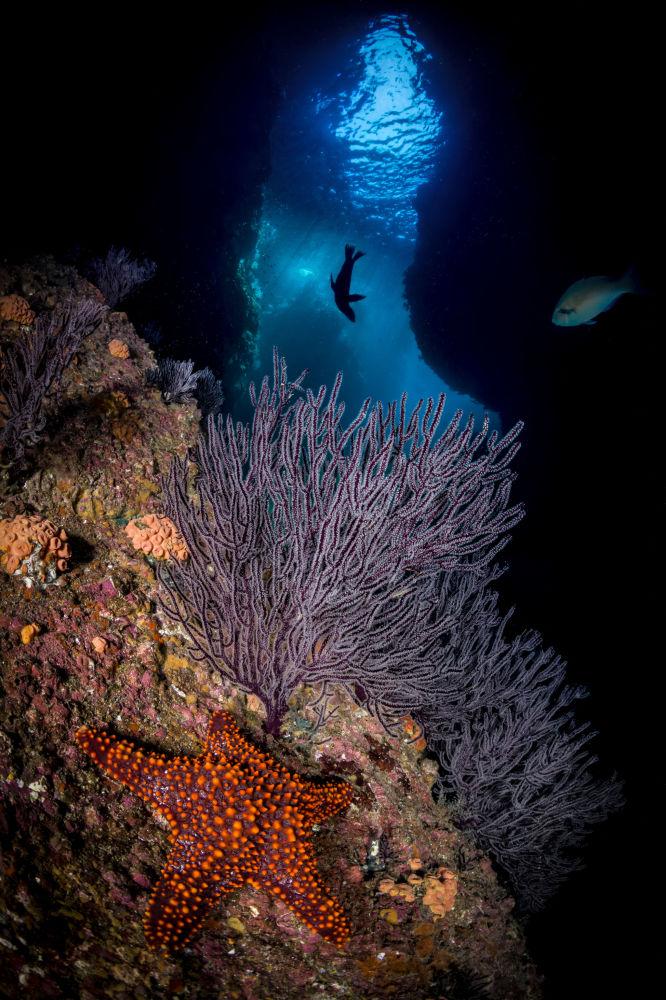 پنهان شدن ستاره دریایی میان جلبک ها