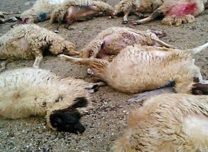 تلف شدن ۱۷ راس گوسفند در بخش مهربان