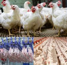 خرید مرغ زنده در زابل تا اطلاع ثانوی تعطیل