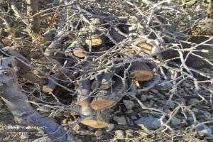 مرگ زمستانی بلوطهای لوداب بویراحمد