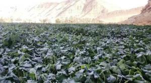سرما افزون بر ۱۴۰۰ میلیارد ریال به بخش کشاورزی لارستان خسارت زد