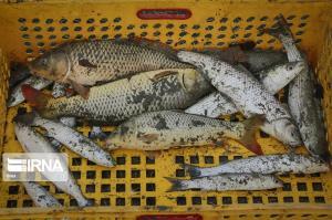 برداشت ماهی گرمابی در ایرانشهر آغاز شد