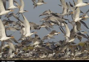 شیوع آنفلوانزای فوقحاد پرندگان در استان بوشهر صحت دارد؟