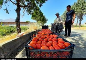 موانع صادرات گوجهفرنگی خارج فصل استان بوشهر برطرف شود