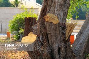علت قطع درختان در پارک پردیس ابهر چه بود؟