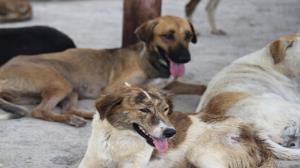 ۱۱۰ قلاده سگ خیابانی در تبریز زندهگیری شد