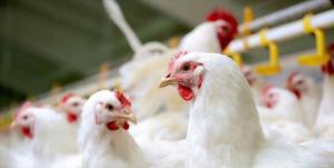 قزوین اجازه  ورود ۳۰ تن مرغ به البرز را نداد!