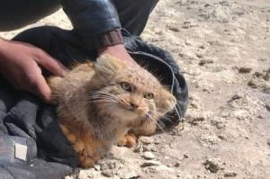 رهاسازی گونه کمیاب گربه پلاس در محدوده تالاب گاوخونی