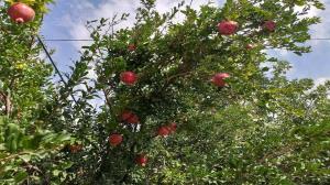 شناسنامهدار شدن ۳۳ باغ قدیمی در تبریز