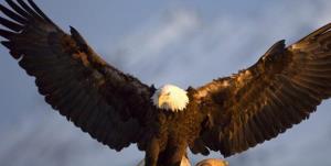 نجات جان «عقاب طلایی» مصدوم توسط جوان اشتهاردی