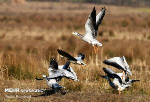 استان بوشهر میزبان ۲۲۰ گونه پرنده است