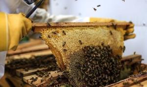 پاسخ سازمان دامپزشکی به تلفات گسترده زنبورهای کشور
