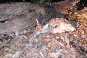 اولین گوساله گوزن زرد در سایت تکثیر و پرورش ارسنجان متولد شد