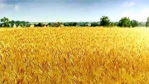 فروش مزارع گندم در فسا برای خوراک دامها