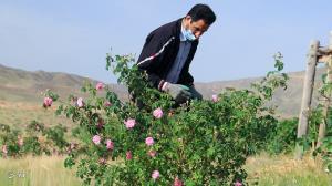 بوسه دستان باغبانهای ساوجی بر گلهای محمدی