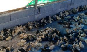 کشف محموله قاچاق چند هزار قطعه جوجه اردک در سبزوار