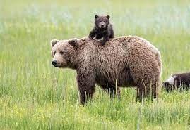 خرس قهوهای و ۲ تولهاش در ارتفاعات دارآباد تهران