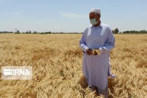 عکس/ آغاز برداشت گندم از مزارع دشت سیستان