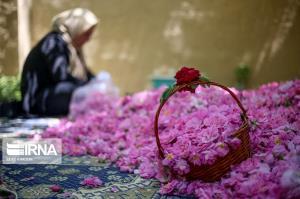 برداشت گل محمدی از باغهای گیلان آغاز شد