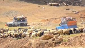 عشایر کوچرو بیش از ۴۳ میلیارد تومان به مراتع لرستان خسارت زدند