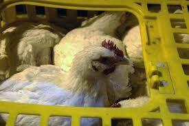 ۳۵۶۴ قطعه مرغ زنده بدونمجوز در عجبشیر کشف شد