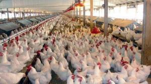 کشف عرضه خارج از شبکه ۱۷ هزار قطعه مرغ در مازندران