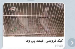 عامل فروش پرندگان وحشی زنده در خلخال دستگیر شد