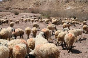 کاهش ۷۰ درصدی علوفه مرتعی در کرمان برای دامداران مشکل آفرین شد
