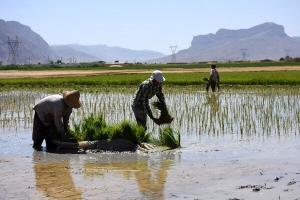 دادستان عمومی کرمانشاه: برنج به دلیل خشکسالی نباید در کرمانشاه کشت شود