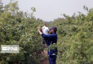 برداشت گل محمدی در مزارع ساوجبلاغ