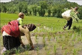 شرایط آب و هوایی اردیبهشت ماه گیلان به نفع برنج