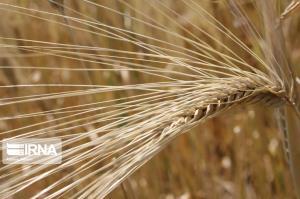افت تولید گندم کرمانشاه در غیاب باران