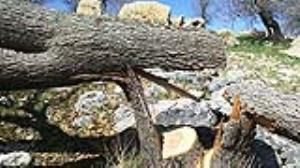 قطع ۶۷۰۰ درخت بلوط در کهمان سلسله