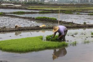 دادستان: کشت برنج به موجب قانون در کرمانشاه ممنوع است