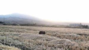 بازگشت خرس قهوهای به دامان طبیعت کرمانشاه
