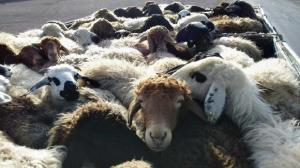 توقیف کامیون با ۵۴ راس گوسفند قاچاق در رابر