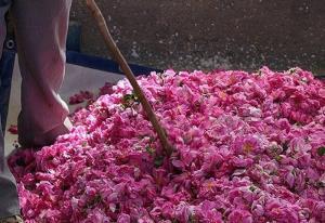 برداشت ۱۸۰ تن گل محمدی از گلستانهای فراهان
