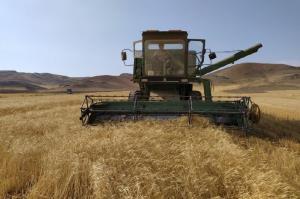 ۸۴ هزار تن گندم و جو در میاندوآب برداشت میشود