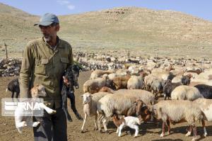 ۵۷ هزار رأس دام عشایر ایلام خرید تضمینی میشود