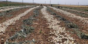 خشکسالی کشت پیاز در بروجن را ۵۰ درصد کاهش داد