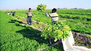 پیش بینی خسارت ۴۳۰ میلیارد ریالی به محصولات کشاورزی در استان قزوین