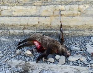 دستگیری متخلفین شکار غیر مجاز گراز در چوار