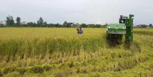 برداشت برنج در ۴۰۰۰ هکتار از شالیزارهای مازندران