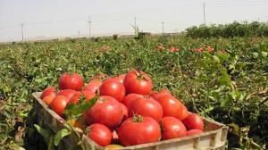 کاشت ۲۵۰ هکتار گوجه فرنگی پاییزه در فراشبند