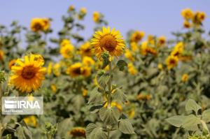 مزرعه گلهای آفتابگردان در خراسان شمالی