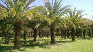 مدیر جهاد کشاورزی فنوج: بارندگی ۵٠ درصد از محصول خرمای این شهرستان را از بین برد
