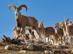 تصاویری دیدنی از  قوچ اوریال پارک ملی گلستان