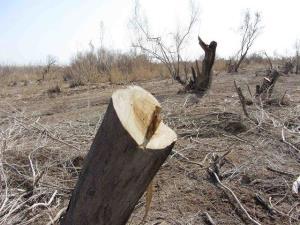 کشف نیم تن چوب تاغ قاچاق در دامغان