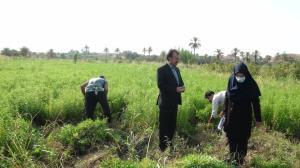 برداشت گیاه دارویی «به لیمو» از مزارع قصرشیرین آغاز شد
